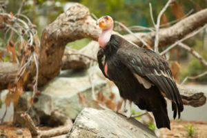 california-condor-6