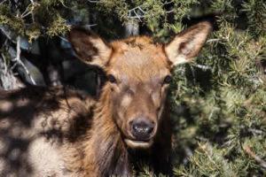 mule-deer-grand-canyon-national-park