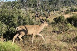 mule-deer-grand-canyon-national-park3