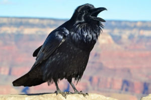 raven-grand-canyon-national-park-1