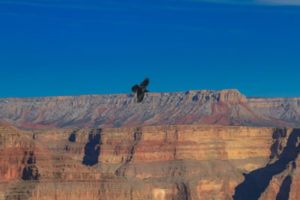 raven-grand-canyon-national-park-2