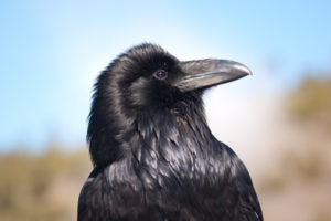 raven-grand-canyon-national-park-3