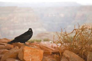 raven-grand-canyon-national-park-4