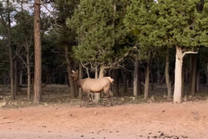 Rocky Mountain Elk in The Grand Canyon National Park