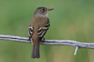 southwest-willow-flycatcher