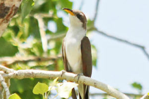 western yellow billed cuckoo2