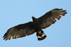 zone-tailed-hawk-grand-canyon-national-park